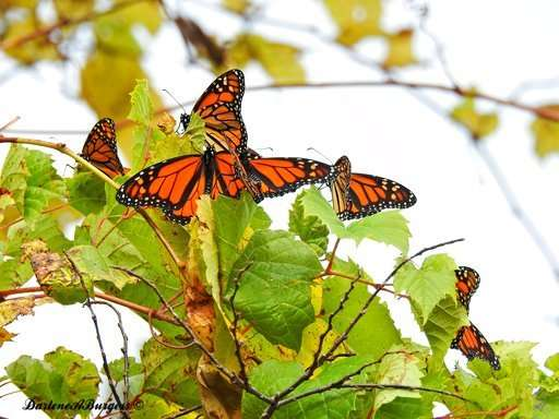 Misplaced monarchs: Clusters of butterflies stuck up north