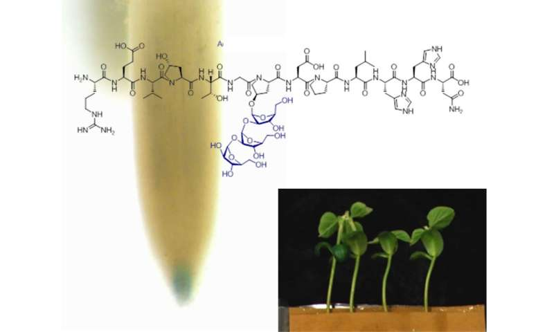 Modified peptides could boost plant growth and development