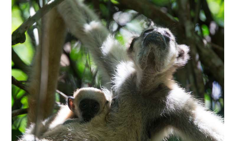 Monkey study shows a path to monitoring endangered species