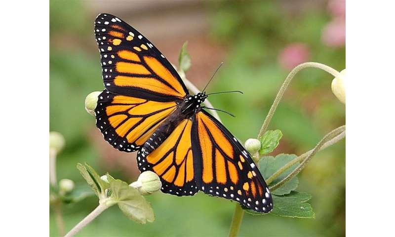 More milkweeds located throughout the landscape can help ...