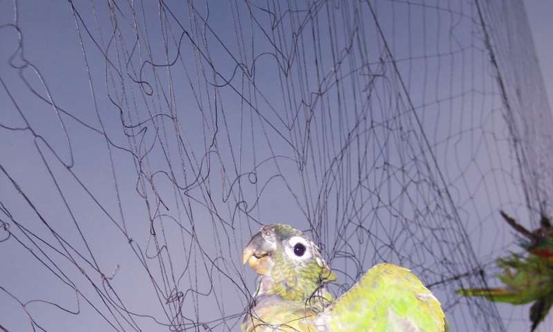 More than a 38 % of the Neotropical parrot population in the American continent is threatened by human activity