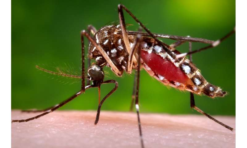 Mosquitoes infected with virus-suppressing bacteria could help control dengue fever