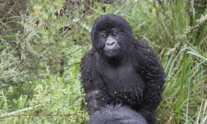 Mountain gorillas have herpes virus similar to that found in humans