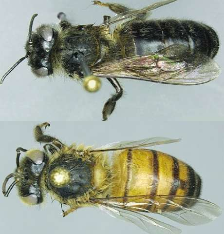 Mountain honey bees have ancient adaptation for high-altitude foraging