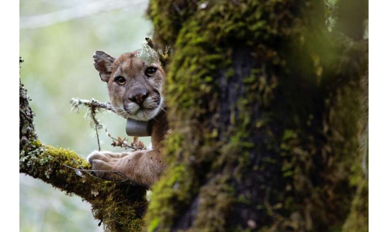 Mountain lions fear humans, fleeing when they hear our voices, new study reveals