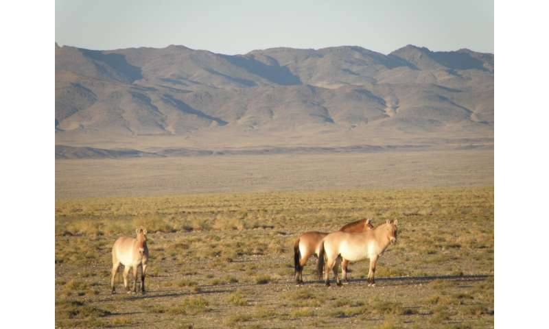 MSU biologist learned what Przewalski's horse ate more than a century ago