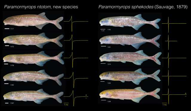 Mystery of electric fish genus solved, new species identified
