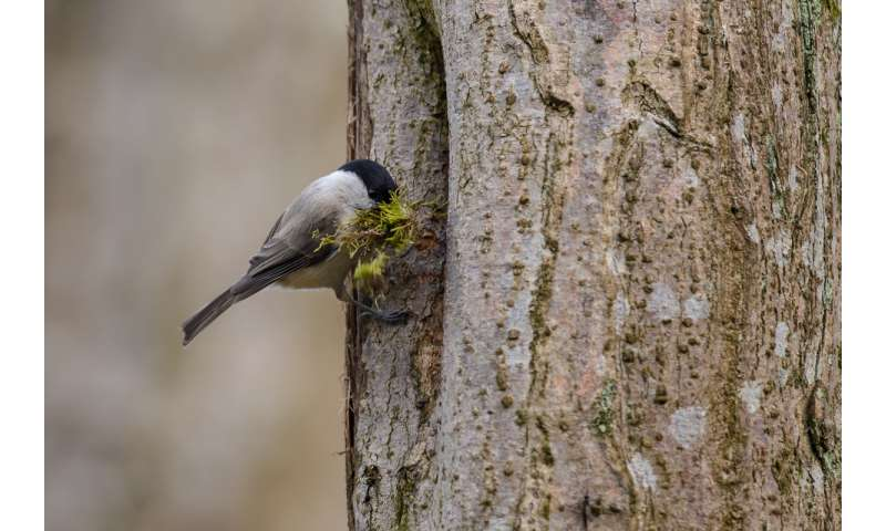 Nesting in cavities protects birds from predators -- to a point