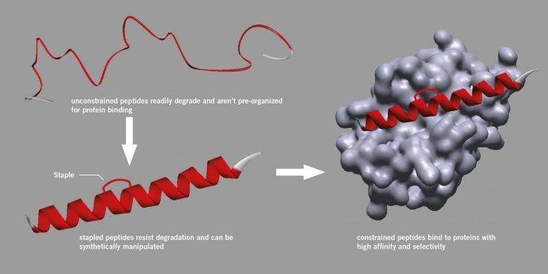 New approach set to make peptide stapling widely available