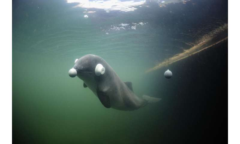 Newborn harbour porpoises have the fastest hearing development among mammals