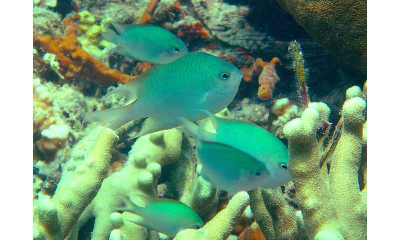 New coral reef fish species shows rare parental care behavior