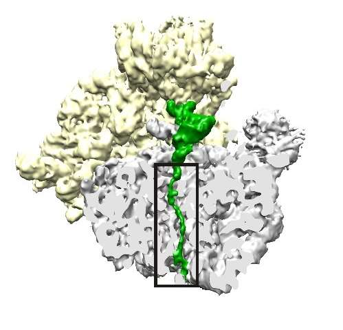 New drug strategy: Target the ribosome to halt protein production