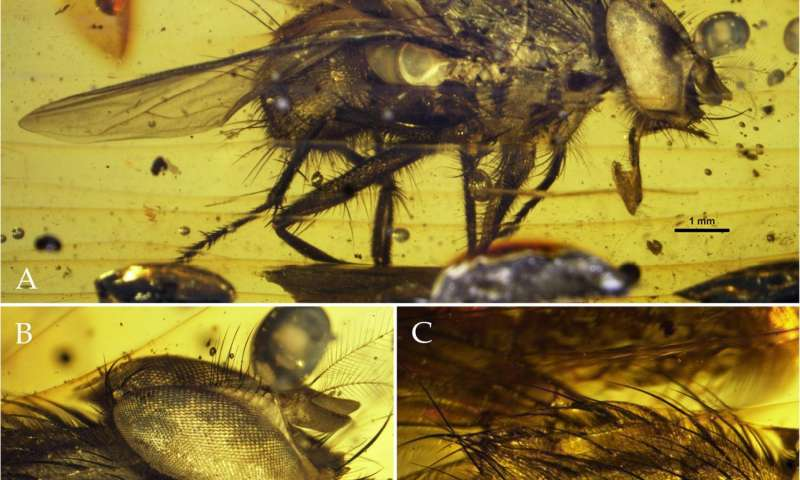 New fly fossil sheds light on the explosive radiation of flies during the Cenozoic Era
