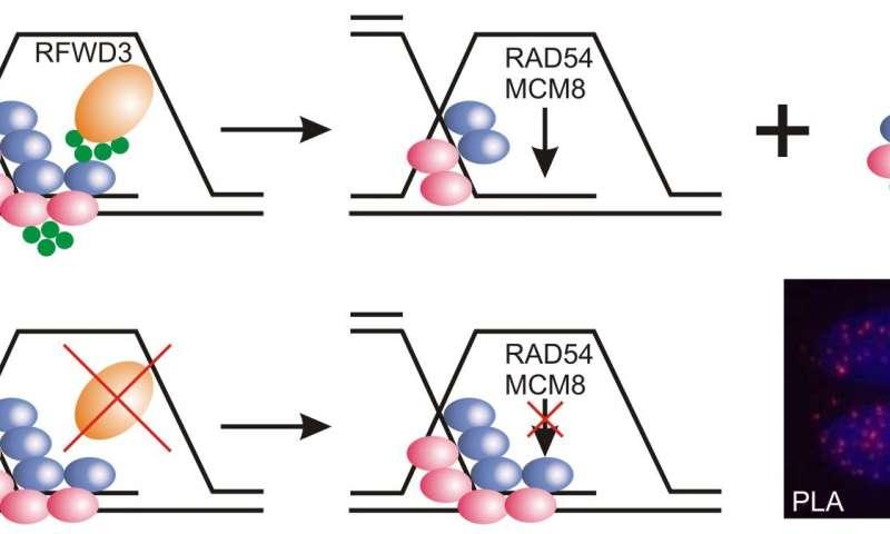 New gene mutation associated with Fanconi anemia