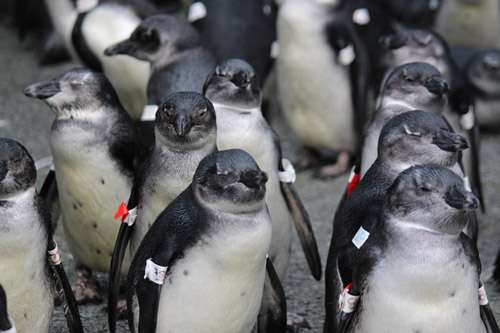 New guidance on hand-rearing decisions for endangered penguin chicks