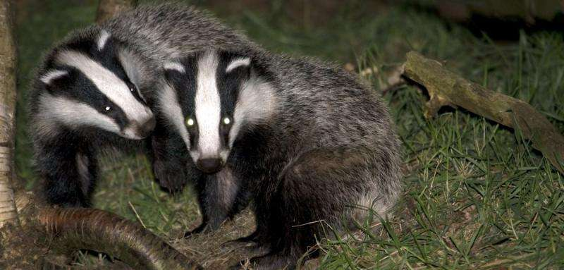 New light on the secret life of badgers