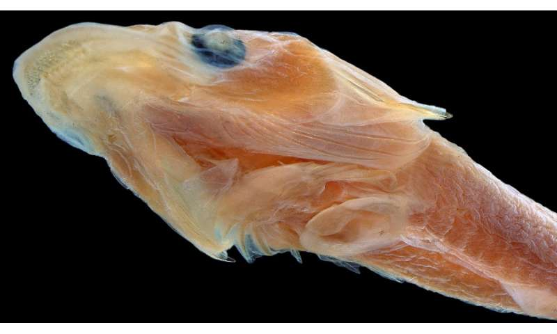 New many-toothed clingfish discovered with help of digital scans