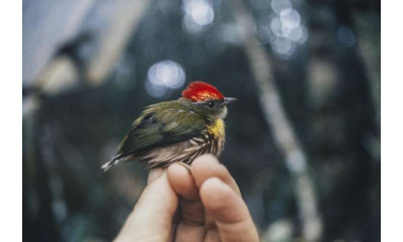 New Peruvian bird species discovered by its song