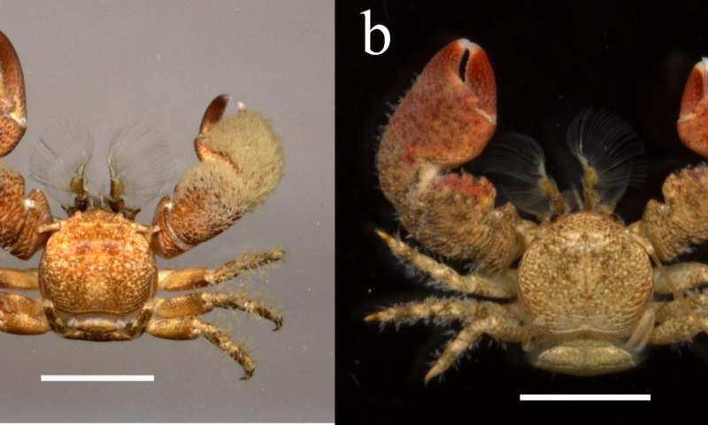 New porcelain crab species from Colombia named