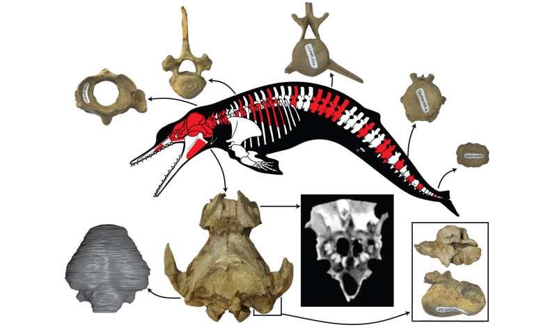 New postcranial skeleton of ancient dolphin Albertocetus meffordum found in South Carolina