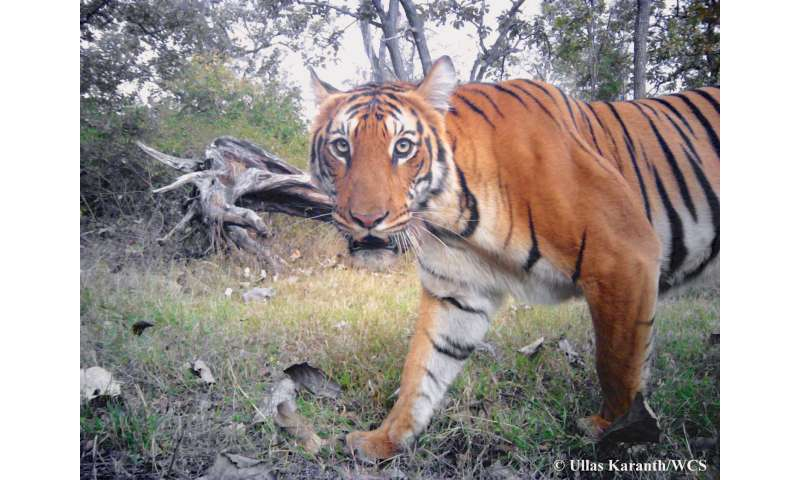 News from WCS: Tiger breakthrough: Camera trap time stamps provide valuable data for conservationist