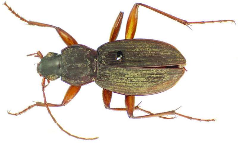 New species of ground beetle described from a 147-year-old specimen