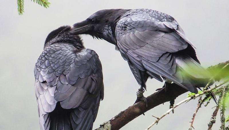 Non-breeding ravens live in highly dynamic social groups