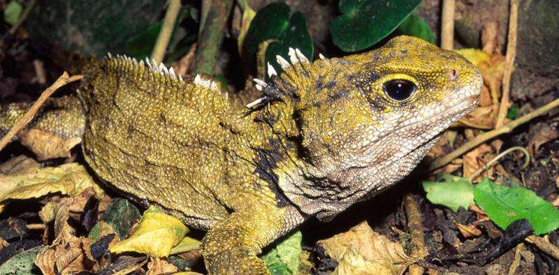 Not a lizard nor a dinosaur, tuatara is the sole survivor of a once-widespread reptile group