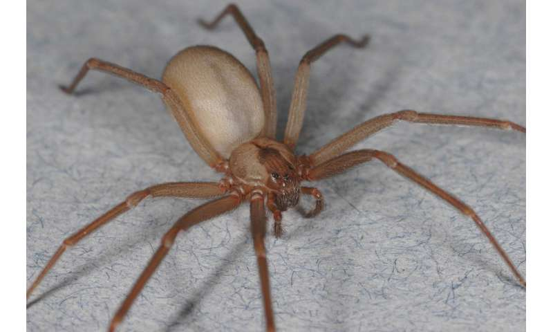 No, that's not a brown recluse spider bite