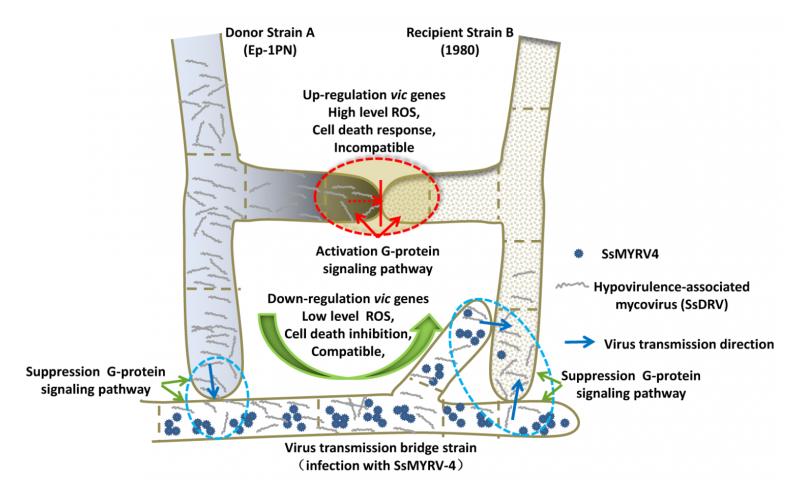 Novel virus breaks barriers between incompatible fungi