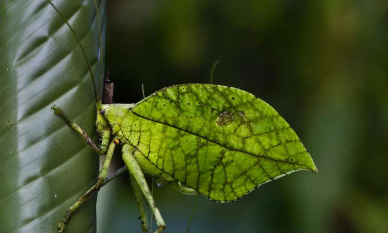 Not only does this new insect species mimics dead leaves for camouflage, its leafy wings make music