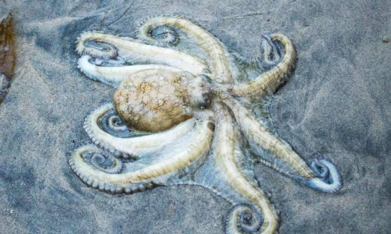 Octopuses stranded on Welsh beach – here are the scientific theories why