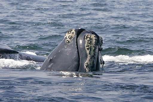 Nesta foto de arquivo de 10 de abril de 2008, uma baleia-franca-do-atlântico-norte sobe até a superfície do oceano no litoral de Provincetown, Massachusetts, em Cape Cod Bay. Funcionários do governo federal dizem que é hora de considerar a possibilidade de que as baleias franças ameaçadas possam se extinguir, a menos que novas medidas sejam tomadas para protegê-las. (AP Photo / Stephan Savoia, arquivo.)