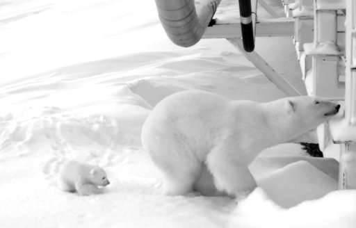 Oil company watches over pregnant polar bear under bridge