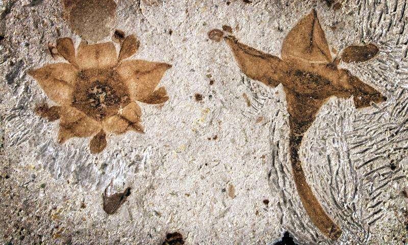 Oldest buckthorn fossilized flowers found in Argentina