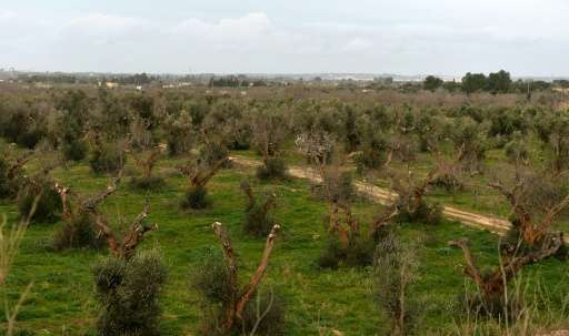 """Olive trees infected by the bacteria """"Xylella Fastidiosa"""" are seen in Italy's Puglia region in 2016"""