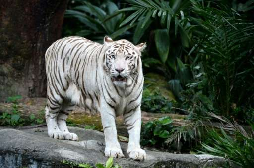 ailing white tiger put down in singapore zoo