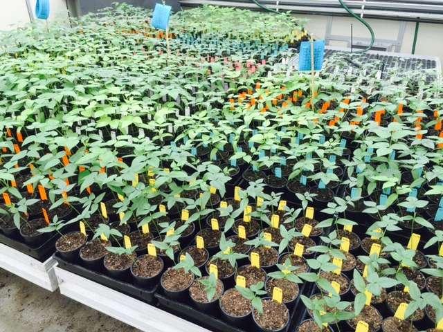 Open-source mungbean genetic information website enables better varieties
