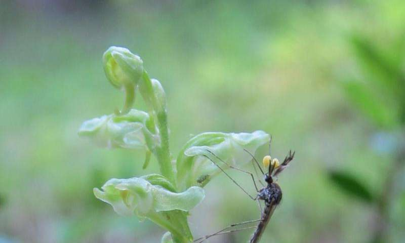 Orchids mimic human body odor to attract mosquitoes