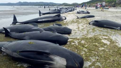 Over 400 whales were stranded on a New Zealand beach, one of the largest beachings recorded, with about 70 percent dying before