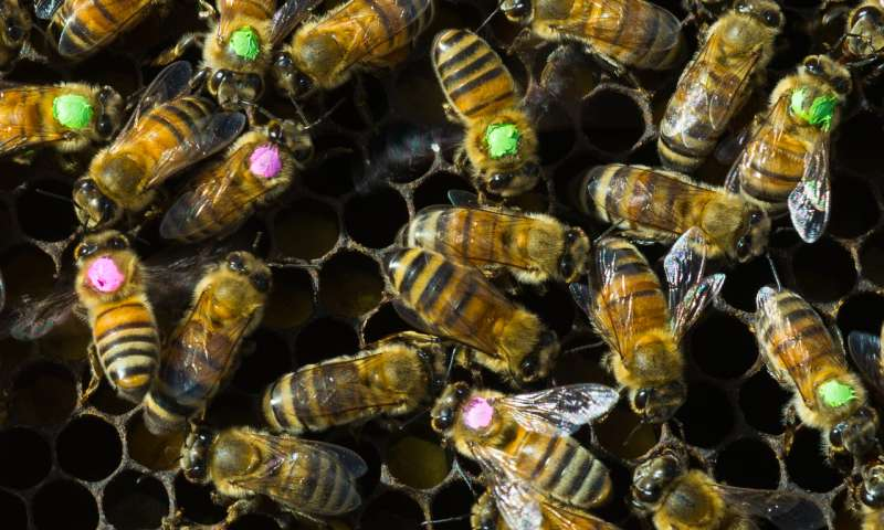 Overuse of antibiotics brings risks for bees -- and for us