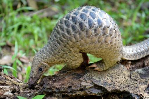 Pangolin meat is also prized as a culinary delicacy and its body parts as an ingredient in traditional medicine in parts of Asia