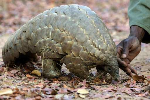 Pangolins, porcupines and hedgehogs have needle-sharp quills or armour provide excellent protection against predators