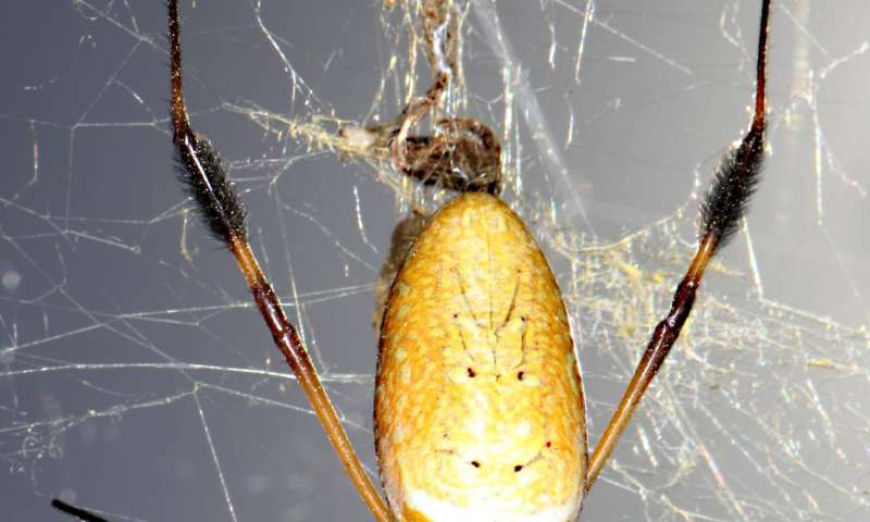Penn scientists illuminate genetics underlying the mysterious powers of spider silks