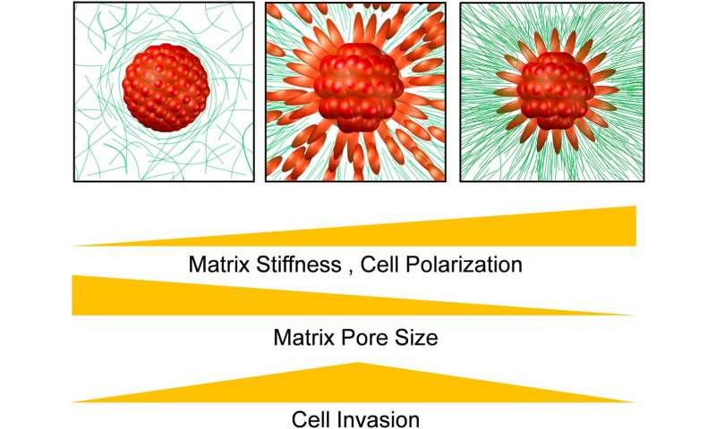 Penn/Wistar study finds 'sweet spot' where tissue stiffness drives cancer's spread