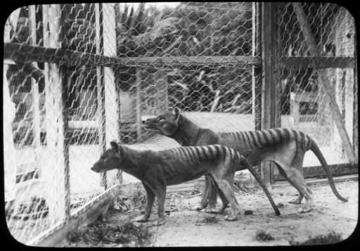 Photograph from the Tasmanian Museum and Art Gallery shows the now extinct Tasmanian tiger or thylacines at Beaumaris Zoo in Hob