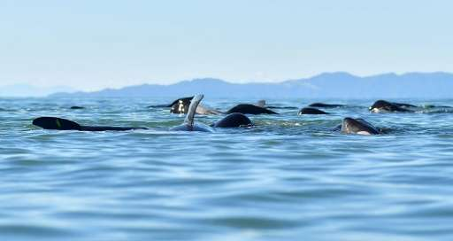 Pilot whales in New Zealand. Sri Lanka's navy and local residents have rescued a pod of about 20 stranded pilot whales off the n