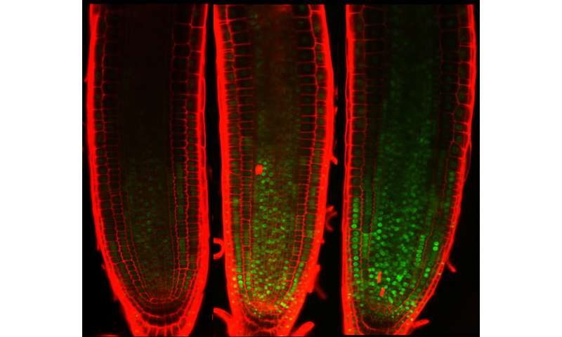 Plant cells survive but stop dividing upon DNA damage