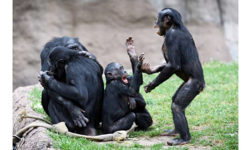Primates at play show why monkeying around is good for the brain