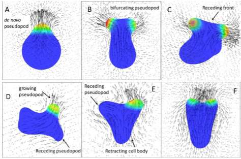 Pseudopod protrusions propel amoeboid cells forward: A 3-D swimming model